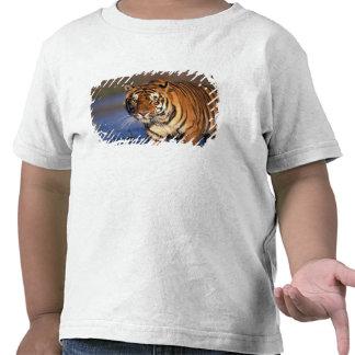 ASIA, India, Bengal Tiger Panthera tigris) Shirts