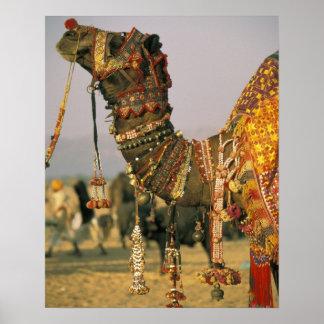 Asia, India, Pushkar. Camel Shamu , Pushkar Poster