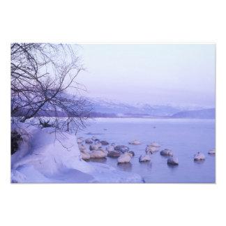 Asia, Japan, Hokkaido, Akan NP, Whopper Swans Photo Print