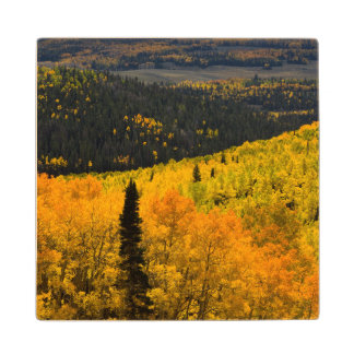 Aspen Trees (Populus Tremuloides) And Conifers Wood Coaster