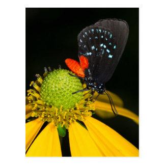 Atala hairstreak on flower, Eumaeus Atala Postcard