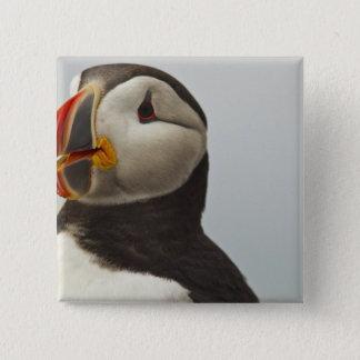Atlantic Puffins on Machias Seal Island off 15 Cm Square Badge