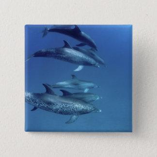 Atlantic spotted dolphins. Bimini, Bahamas. 5 15 Cm Square Badge