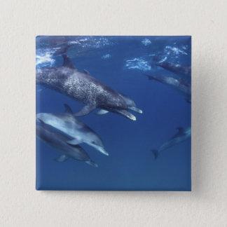 Atlantic spotted dolphins. Bimini, Bahamas. 8 15 Cm Square Badge