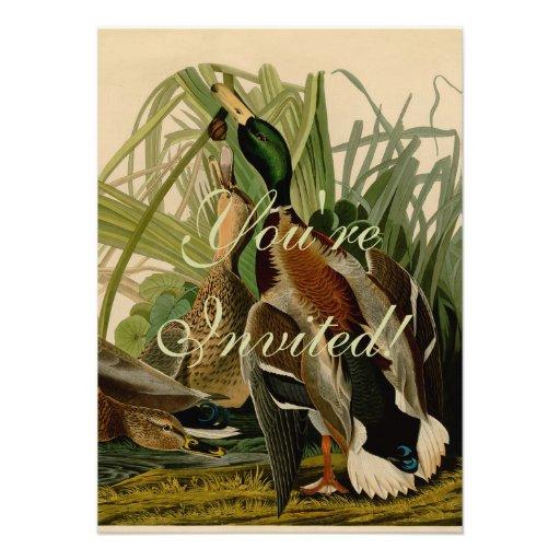 Audubon Mallard duck Bird Vintage Print Announcement