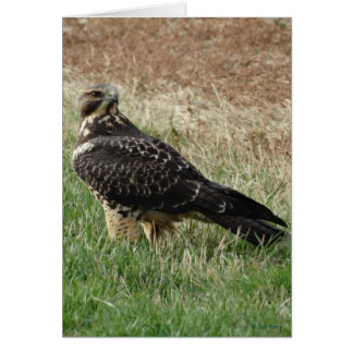 B0052 Swainson's Hawk Card