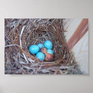 Baby Bluebird Poster
