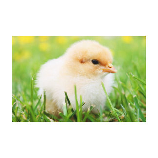 Baby chick sitting in grass gallery wrap canvas