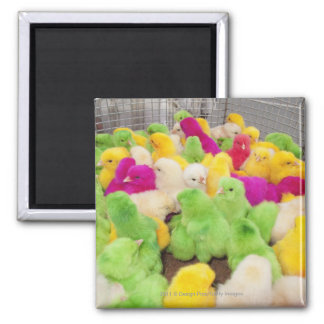 Baby Chicks In A Pen At A Market Colored By Dye Square Magnet