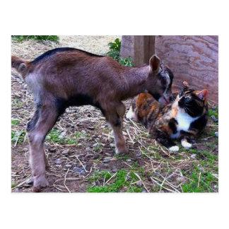 Baby Goat & Cat Postcard