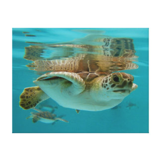 Baby Green Sea Turtle swimming Stretched Canvas Prints