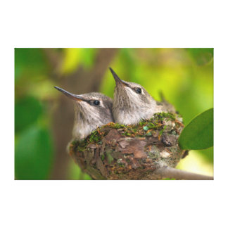Baby hummingbirds stretched canvas print