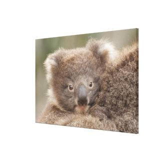 Baby Koala Canvas Print
