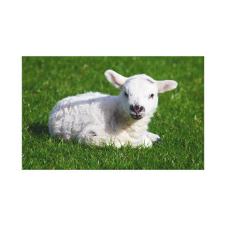 Baby lamb in grass gallery wrapped canvas