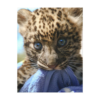 Baby Leopard with blue blanket Gallery Wrap Canvas