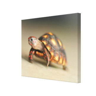 Baby Redfoot Tortoise Walking Canvas Print