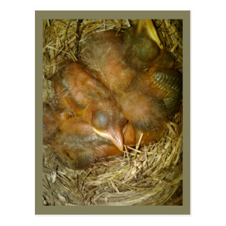 Baby Robins Sleeping in Nest Postcard