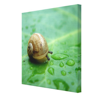 Baby Snail On Leaf With Waterdrops Canvas Print