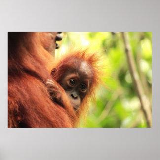 Baby Sumatran Orangutan Poster