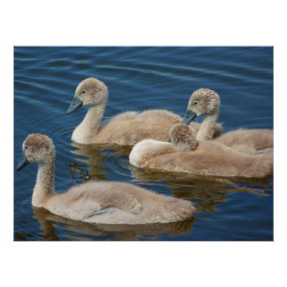 Baby swans in water poster