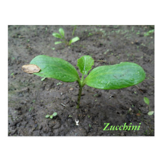 Baby Zucchini Sprout Postcard