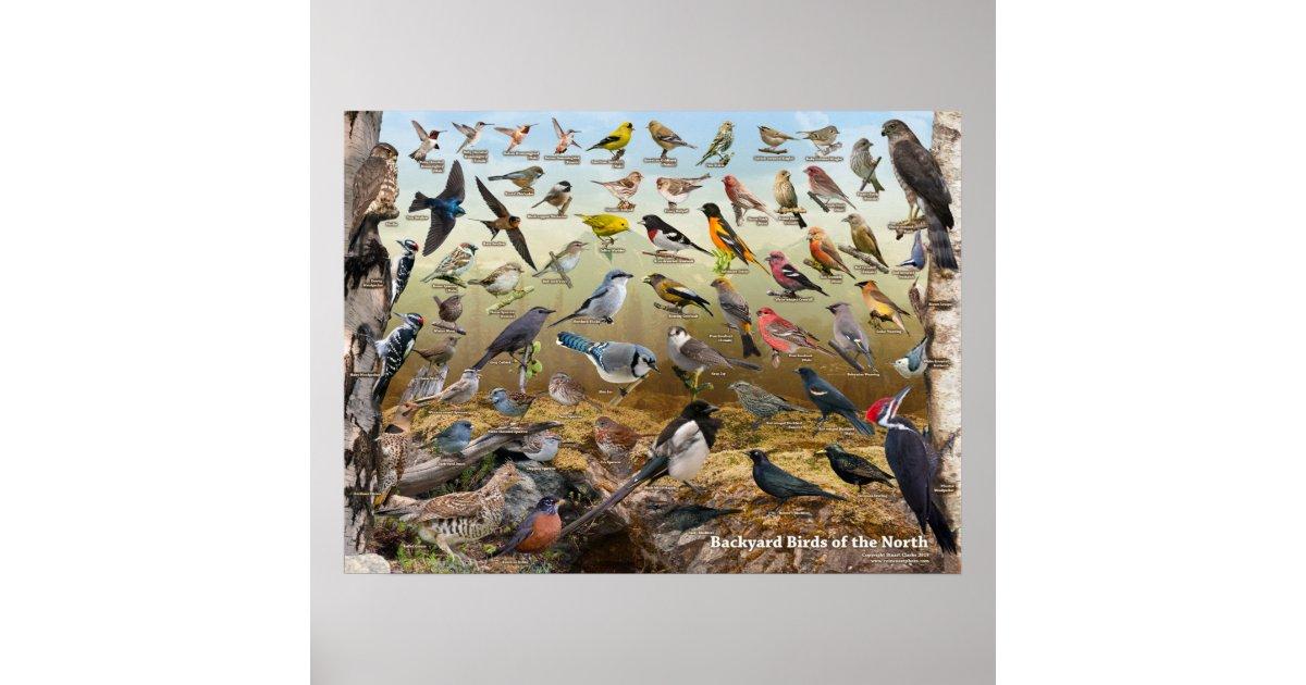 Backyard Birds of the North Poster | Zazzle.co.nz