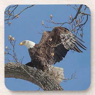 Bald Eagle on a tree branch Coasters