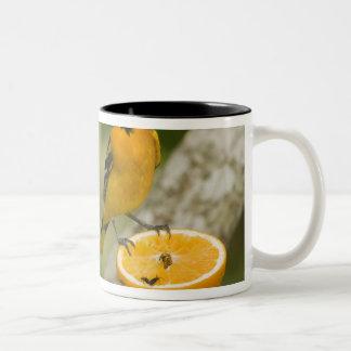 Baltimore Oriole feeding on orange, Icterus Two-Tone Coffee Mug