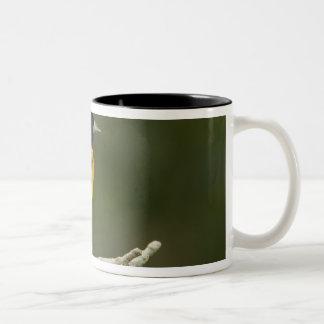 Baltimore Oriole, Icterus galbula, Coastal 2 Two-Tone Coffee Mug