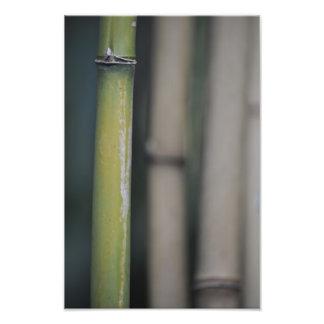 Bamboo - Bambu Photo Print