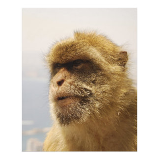 Barbary Macaques in Gibraltar Monkey Face Photo Print