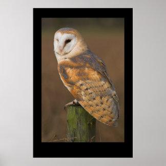 Barn Owl Tyto alba Posters