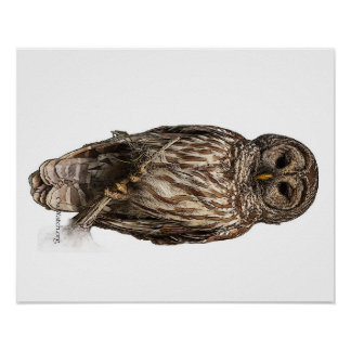 Barred Owl - poster