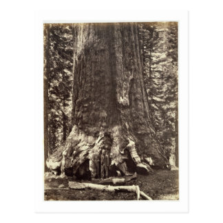 Base of the Grizzly Giant, from 'The Yosemite Book Postcard