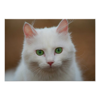 Beautiful green eyed white cat poster