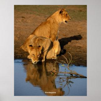 Beautiful Lions Cubs Print