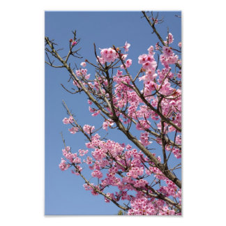 Beautiful pink cherry blossoms and blue sky photographic print