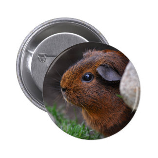 Beautiful Smooth Gold Agouti Guinea Pig 6 Cm Round Badge