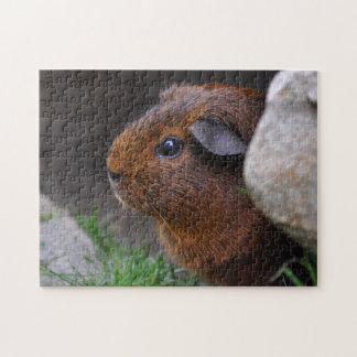 Beautiful, Smooth, Gold Agouti Guinea Pig Puzzles