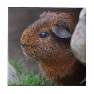 Beautiful Smooth, Gold Agouti Guinea Pig Small Square Tile