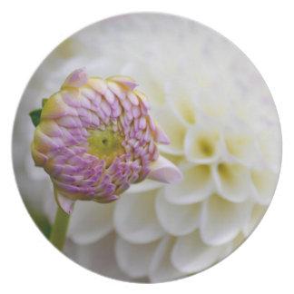 Beautiful white dahlia with bud set on plate