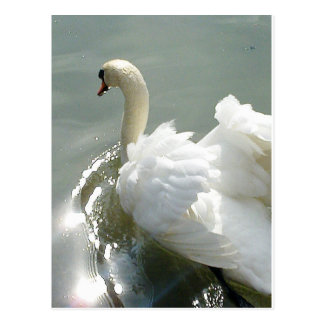 Beautiful white swan postcard