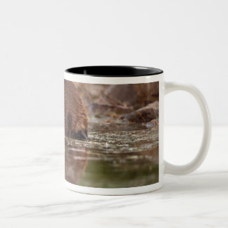 beaver, Castor canadensis, goes for a swim in Two-Tone Coffee Mug