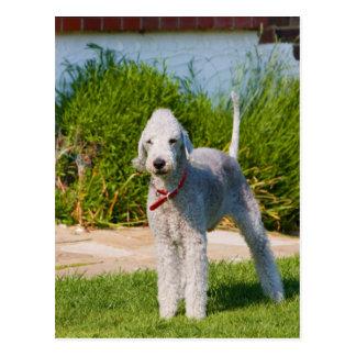 bedlington-terrier-full.png postcard