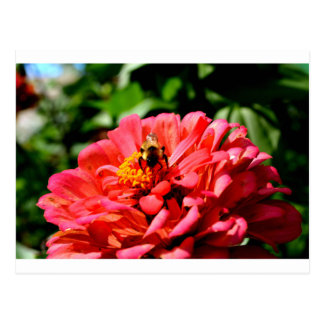 Bee and coral zinnia postcard