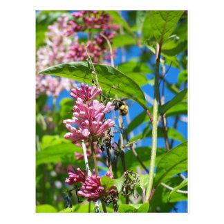 Bee on lilac in Alaska Postcard