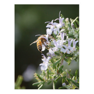 Bee on Rosemary Plant Postcard