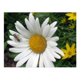 Bee Resting on shasta Daisy Postcard