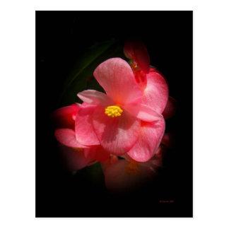 Begonia Beauties Postcard