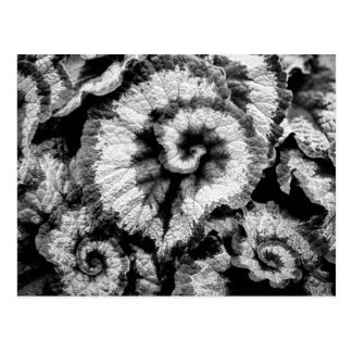 Begonia leaves in black and white postcard